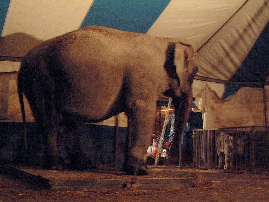 elephant_chained.jpg